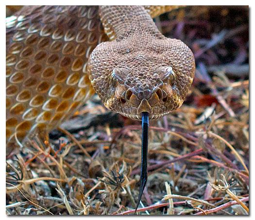 rattlesnake_7418